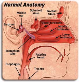 nasal_anatomy